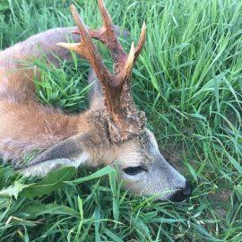 jagt, jagtrejser - bukkejagt i Polen